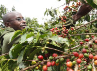 Kenya: South Rift New Coffee Frontier, Say Researchers